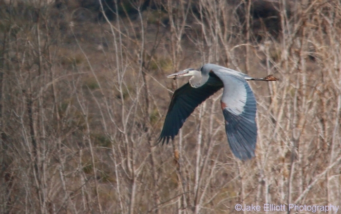 great-blue-heron-8-1024x644