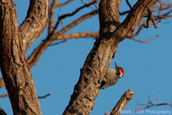 ladder-backed-woodpecker-106-1024x684