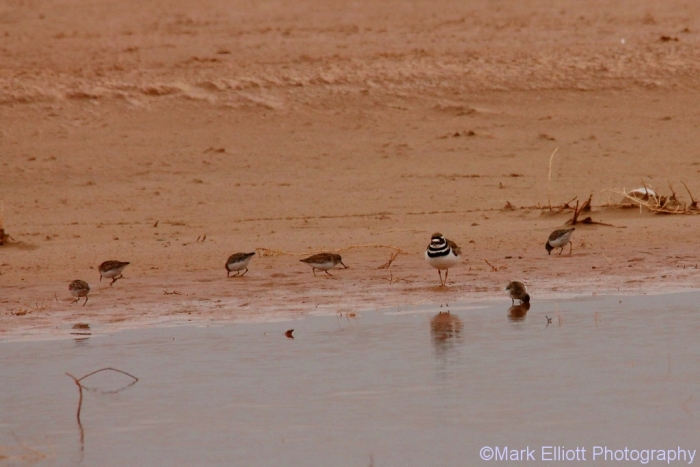 least-sandpiper-and-killdeer-7-1024x684