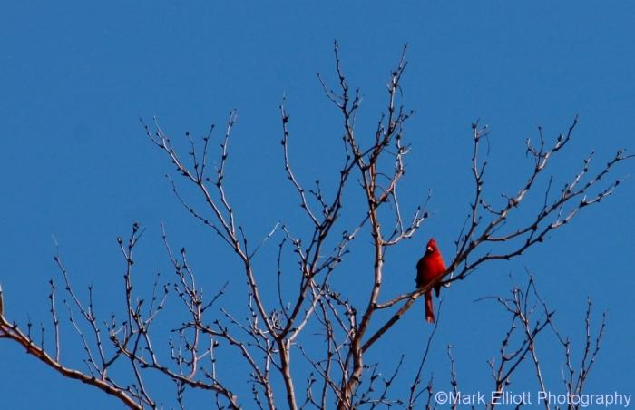northern-cardinal-58-1024x662