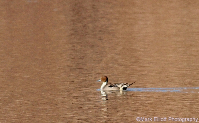 northern-pintail-18-1024x636