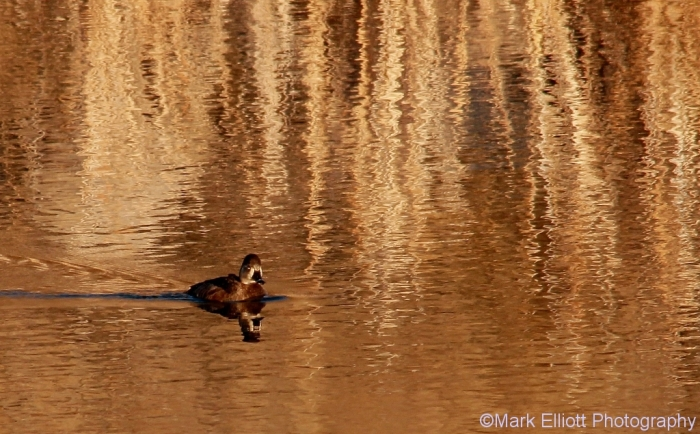 ring-necked-duck-16-1024x635