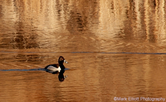 ring-necked-duck-17-1024x634