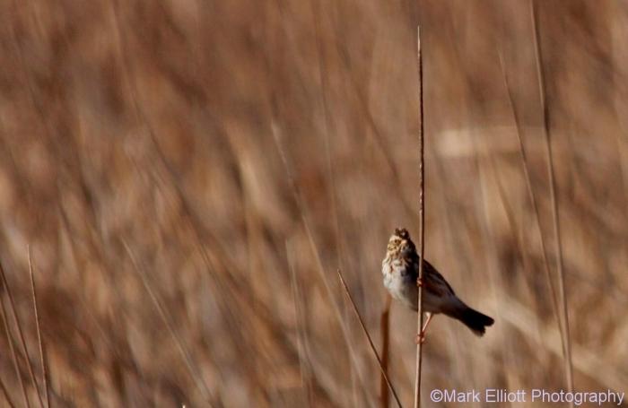 song-sparrow-37-1024x666
