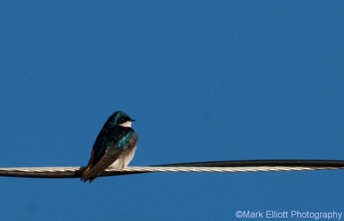 tree-swallow-27-1024x657