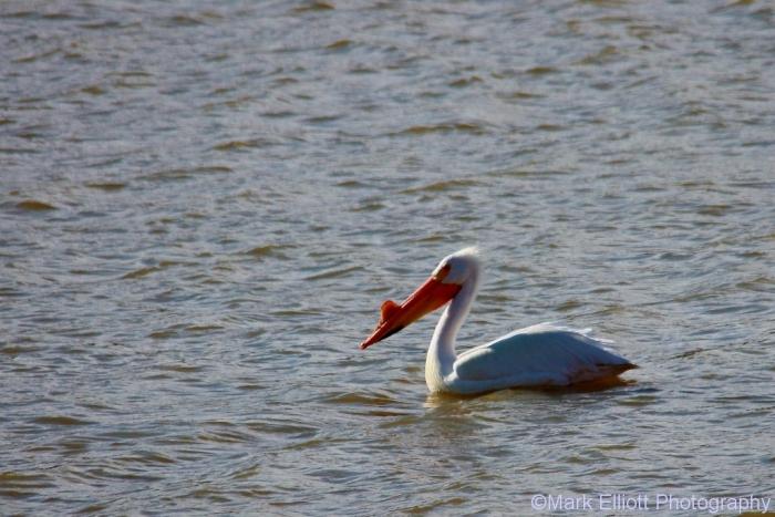 american-white-pelican-9-1024x684