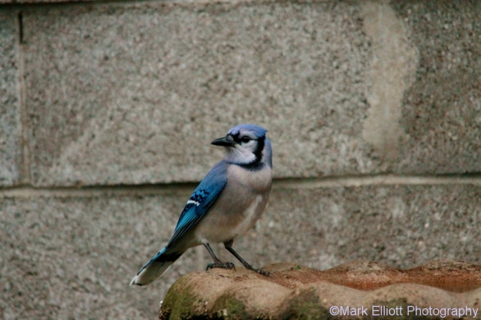 blue-jay-7-1024x683