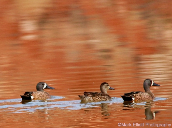 blue-winged-teal-8-1024x761