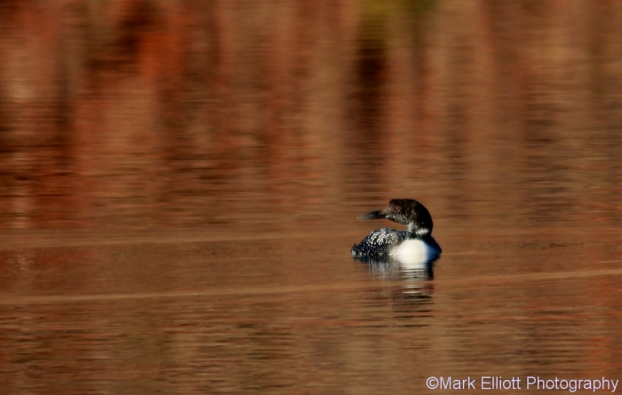 common-loon-11-1024x651