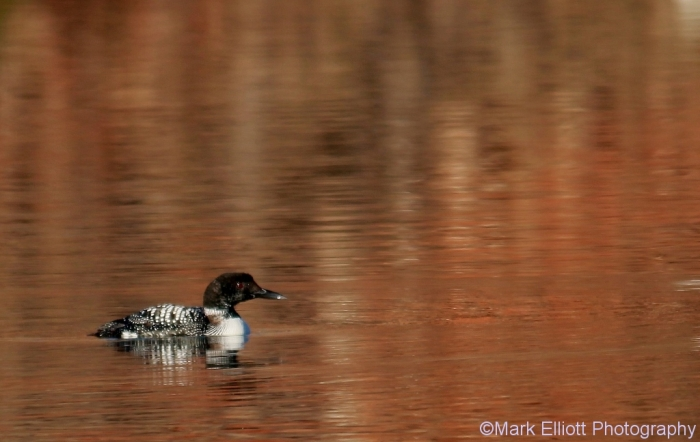 common-loon-14-1024x648