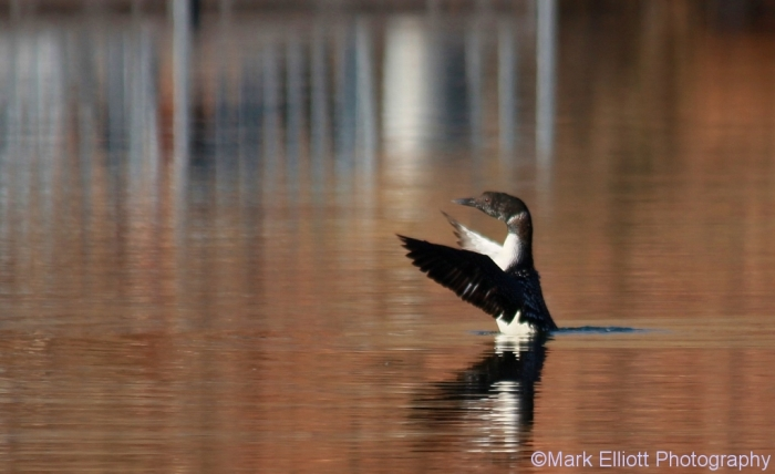common-loon-26-1024x627