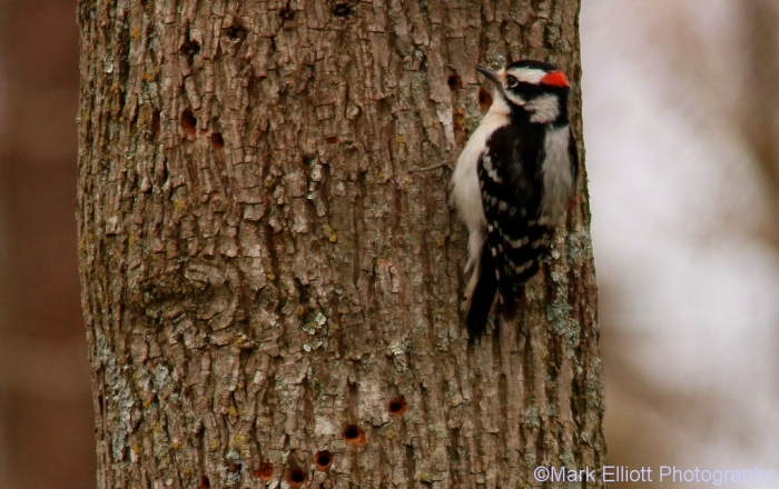downy-woodpecker-4-1024x644