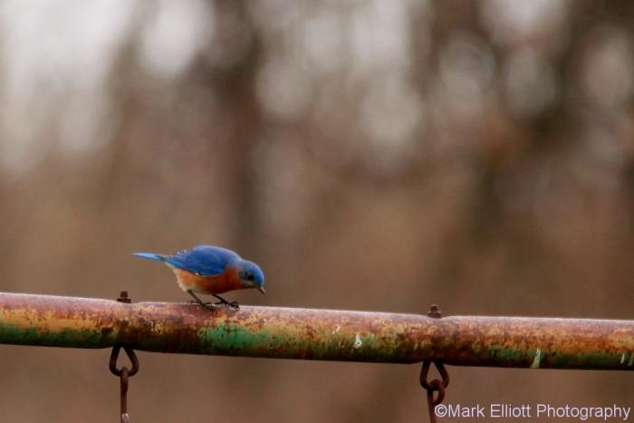 eastern-bluebird-4-1024x684