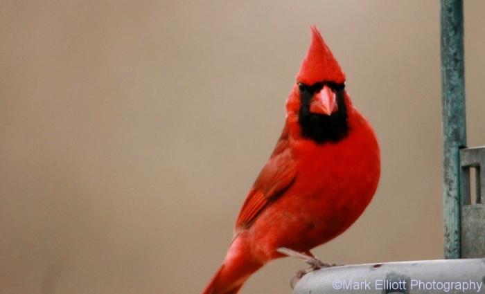 northern-cardinal-10-1024x623