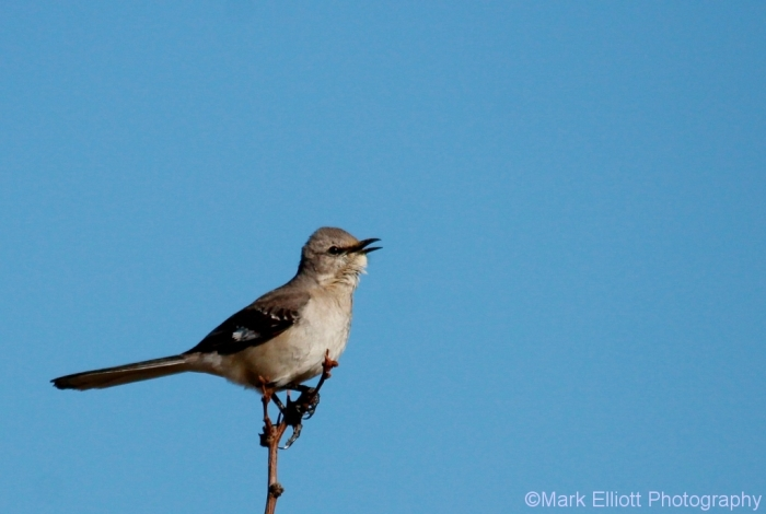 northern-mockingbird-60-1024x688