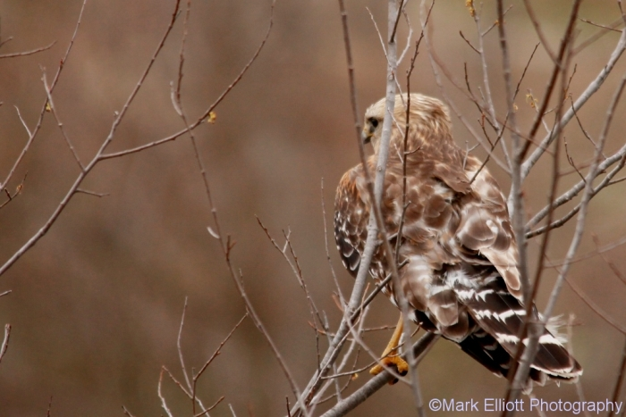 red-shouldered-hawk-2-1024x684