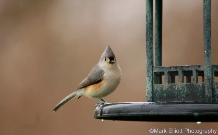 tufted-titmouse-17-1024x632