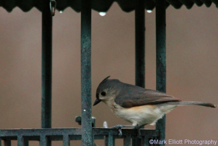 tufted-titmouse-5-1024x684