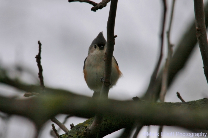 tufted-titmouse-6-1024x683