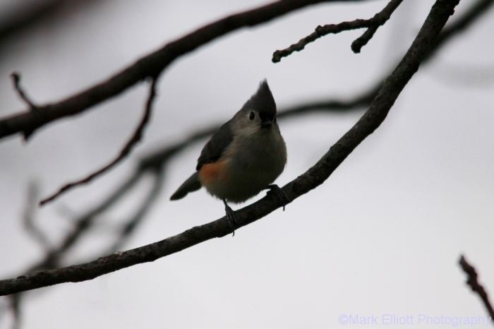 tufted-titmouse-7-1024x683