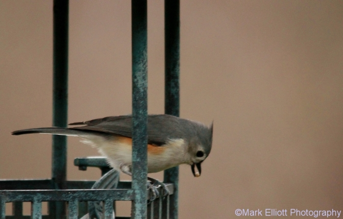 tufted-titmouse-8-1024x655