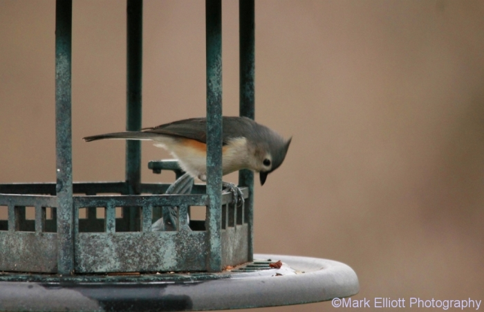 tufted-titmouse-9-1024x660