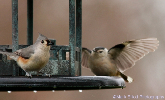 tufted-titmouse-carolina-chickadee-1024x622