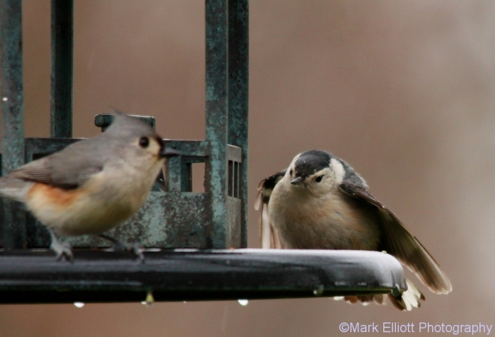 tufted-titmouse-carolina-chickadee-2-1024x697