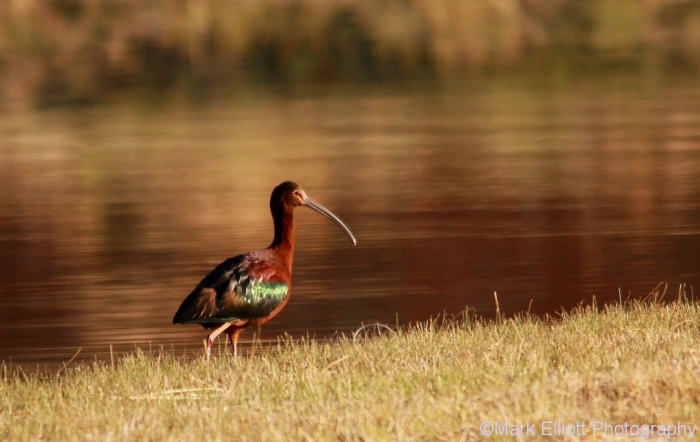 white-faced-ibis-7-1024x647
