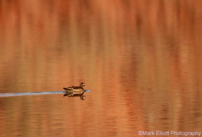 wood-duck-2-1024x696