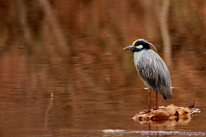 yellow-crowned-night-heron-3-1024x684