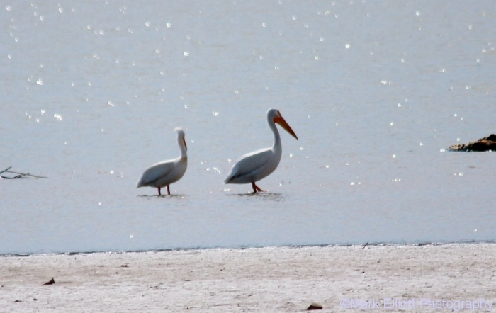 american-white-pelican-11-1024x648