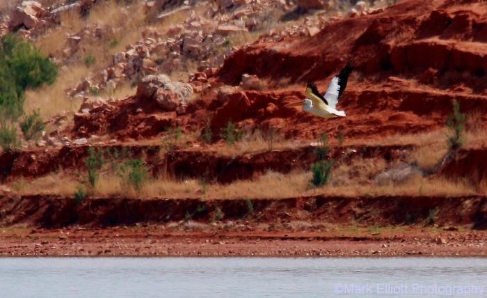 american-white-pelican-19-1024x627