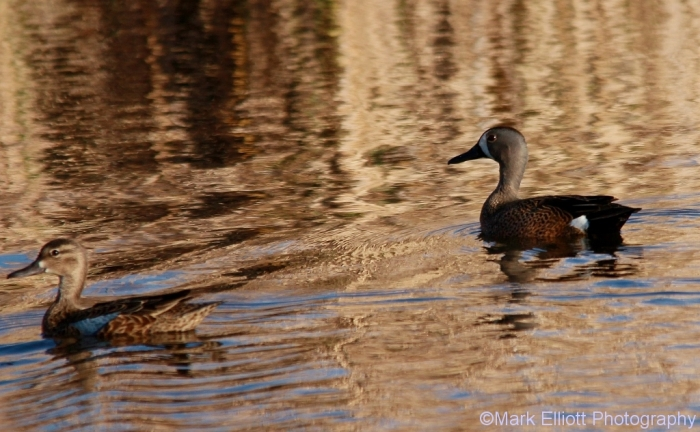 blue-winged-teal-24-1024x633