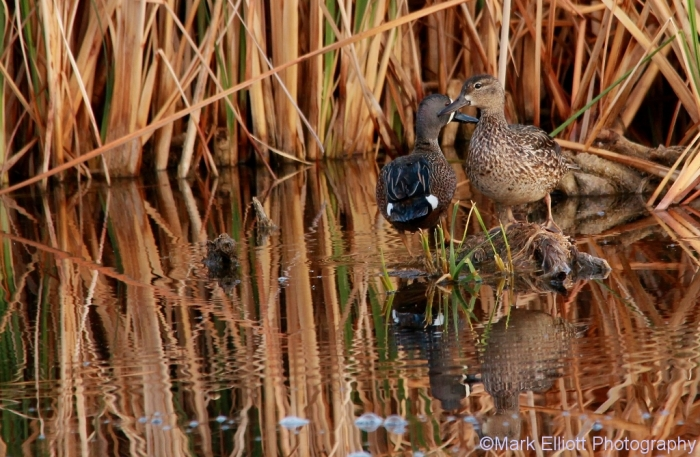 blue-winged-teal-30-1024x669