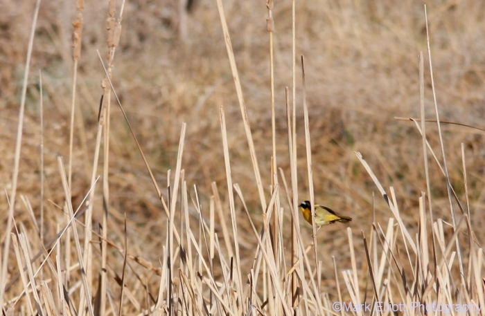 common-yellowthroat-16-1024x669