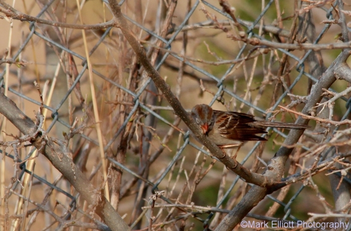 field-sparrow-40-1024x677