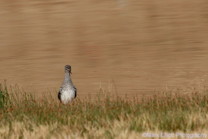 greater-yellowlegs-43-1024x683