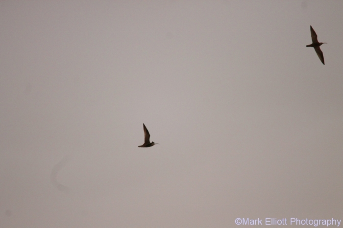 long-billed-curlew-1024x683