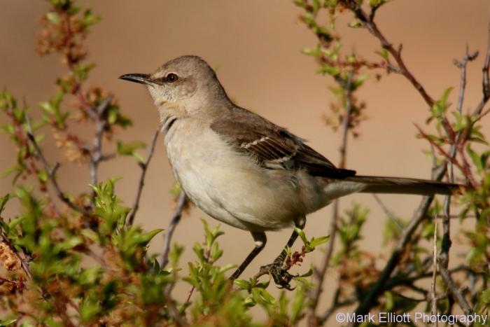 northern-mockingbird-64-1024x684
