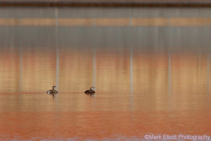pied-billed-grebe-13-1024x684