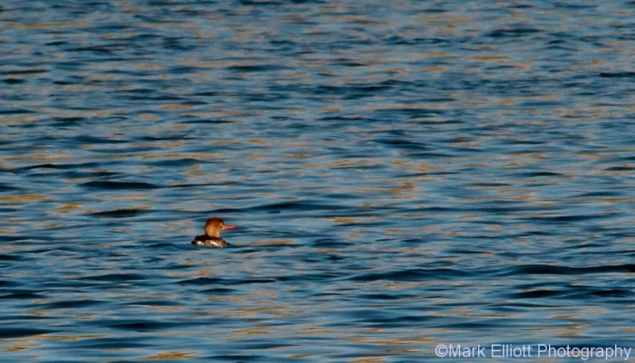 red-breasted-merganser-1024x587