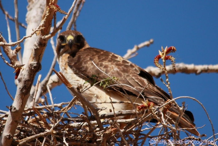 red-tailed-hawk-117-1024x684