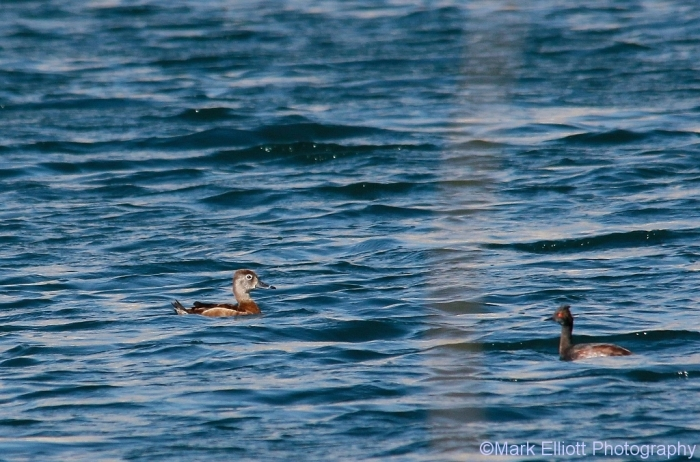 ring-necked-duck-eared-grebe-1024x676