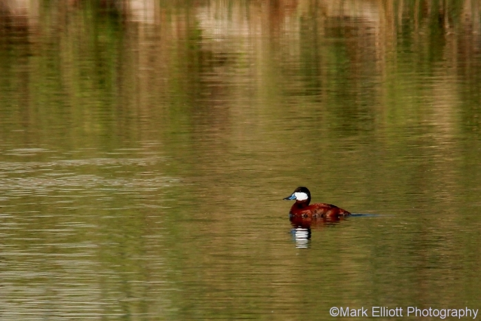 ruddy-duck-14-1024x685