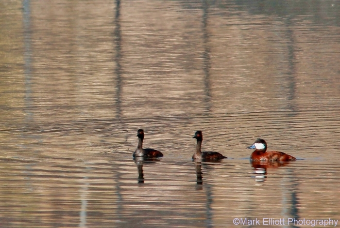 ruddy-duck-eared-grebe-1024x690