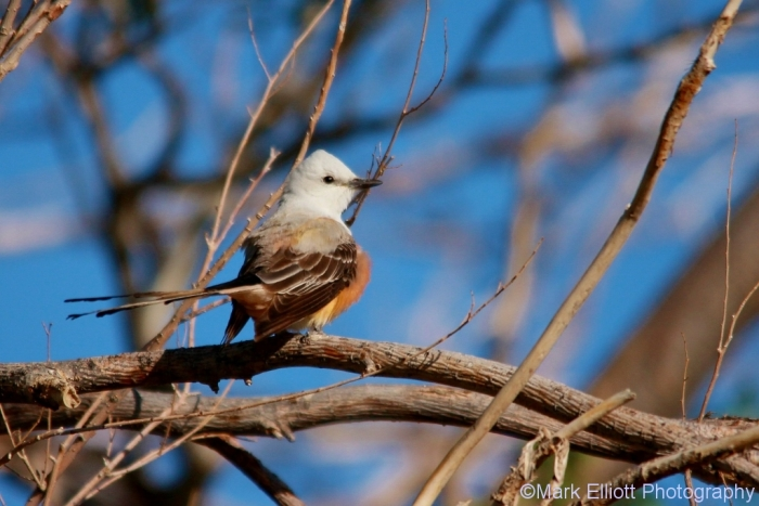 scissor-tailed-flycatcher-113-1024x684