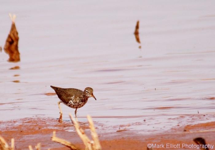 spotted-sandpiper-22-1024x718
