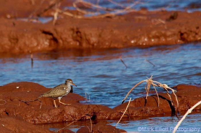 spotted-sandpiper-25-1024x676