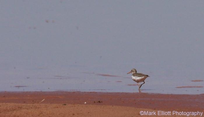 spotted-sandpiper-27-1024x589